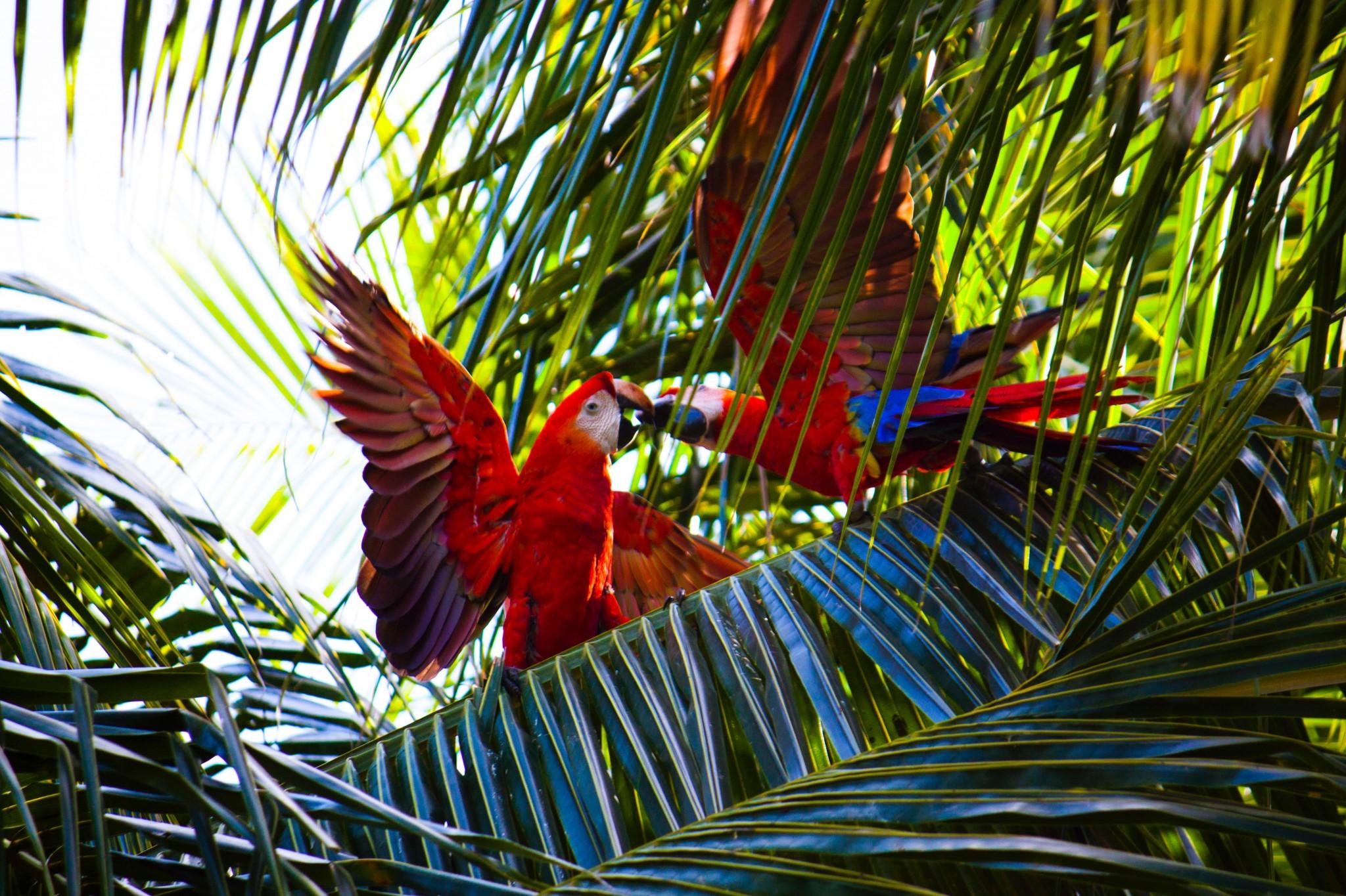Costa Rica-Ara-Papageien