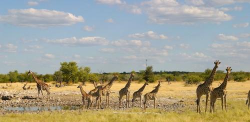 Namibia-Giraffen-am-Wasserloch