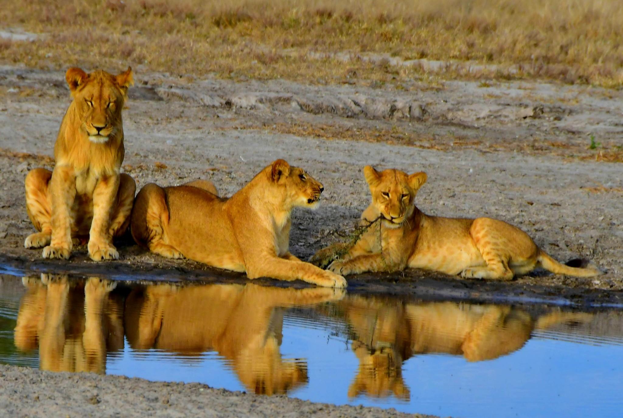 Löwenfamilie-am-Wasserloch